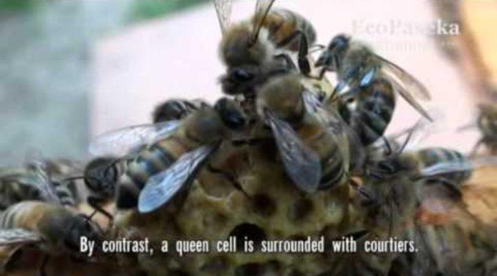 Таинство рождения ее пчелиного высочества